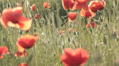 Play of wind with red poppies field - stock footage