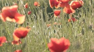 Stock Video Footage of Play of wind with red poppies field
