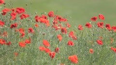 Red poppies mixed with weeds, trembling in the wind - stock footage