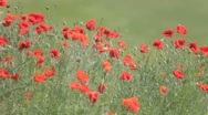 Stock Video Footage of Red poppies mixed with weeds, trembling in the wind