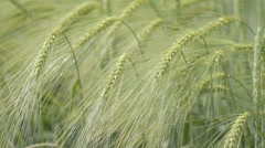 Green wheat field and windy weather - stock footage