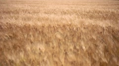 Wheat Grass Wind, Fields of Gold Stock Footage
