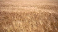 Stock Video Footage of Wheat Grass Wind, Fields of Gold