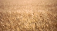 Wheat Fields of Gold Stock Footage