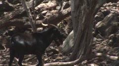 Goat004 Stock Footage