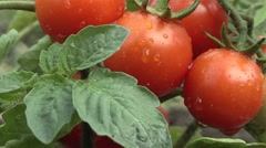 Tomatoes in the garden Stock Footage