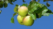 Three apples Stock Footage