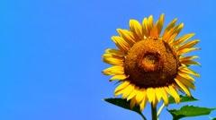 Honeybee on sunflower Stock Footage