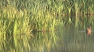 Stock Video Footage of Duck in the river