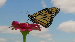 Monarch Butterfly on a flower with a sky background - stock footage