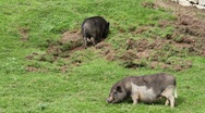 Stock Video Footage of Pot-bellied pigs