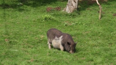 Pot-bellied pigs Stock Footage