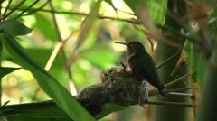 Stock Video Footage of Humming Bird feeds babies 0010XM