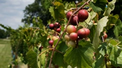 Wine grapes ripening on vine after summer rain in vineyard - stock footage