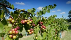 Clusters of wine grapes ripening on vine in vineyard Stock Footage
