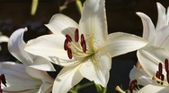 White lily Stock Footage