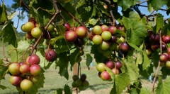 Clusters of wine grapes ripening on vine after a summer rain - stock footage