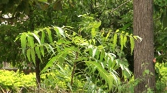 Neem leaves Stock Footage