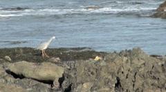 Coastal Heron Bird on Flying Off Rocks in New Zealand Stock Footage