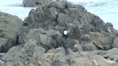 Shag Coastal Bird Resting on Rock in New Zealand Stock Footage