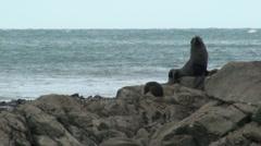Seal on Sea Rocks in New Zealand Stock Footage