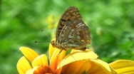 Stock Video Footage of Spotted butterfly on yellow flower