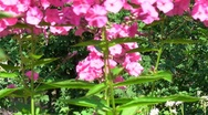 Stock Video Footage of pink phlox