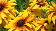 Gaillardia flowers Stock Footage