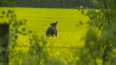 Moose in canola field Stock Footage