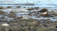 Shore Plover Endangered Birds on Beach in New Zealand Stock Footage