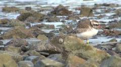 Shore Plover Endangered Bird on Beach in New Zealand Stock Footage