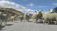 Stock Video Footage of sheep in road