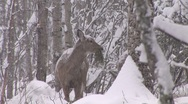 Stock Video Footage of Whitetail Deer Doe