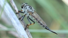 Robber fly Efferia apicalis female - stock footage