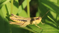 Green grasshopper in a grass Stock Footage