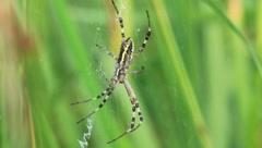 Wasp spider. Argiope bruennichi Stock Footage
