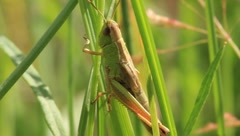 Green grasshopper Stock Footage