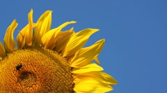 Sunflower head and blue sky - stock footage