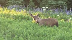 Moose Munching in the Morning 1 Stock Footage