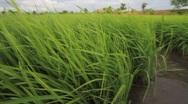 Rice seedlings. Stock Footage