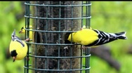 American Goldfinches At the Bird Feeder Stock Footage