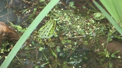 HD 1080 closeup shot of green frog in bog. Stock Footage