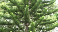 Stock Video Footage of Tall Tree