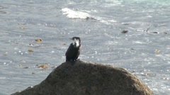 Shag on a Rock Stock Footage