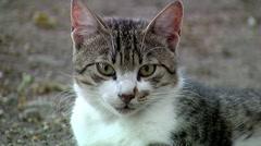 Gray cat close up Stock Footage
