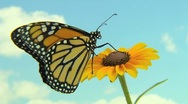 Monarch Butterfly on a flower with a sky background Stock Footage