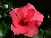 Stock Video Footage of Red Hibiscus Flower Blooming in Time-lapse – 640x480