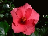Stock Video Footage of Red Hibiscus Flower Blooming in Time-lapse – NTSC