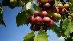 Wine grapes ripening in summer breeze after rain in vineyard Stock Footage