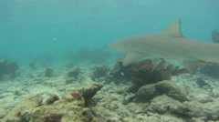 Shark: Lemon Shark Swimming - stock footage